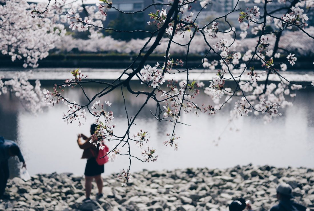 Japan's cherry blossom