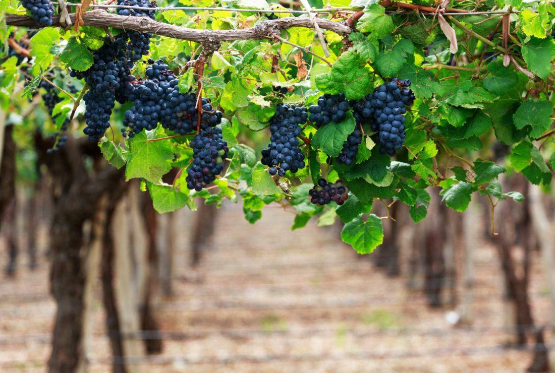 Wine tasting in Mendoza's vineyards