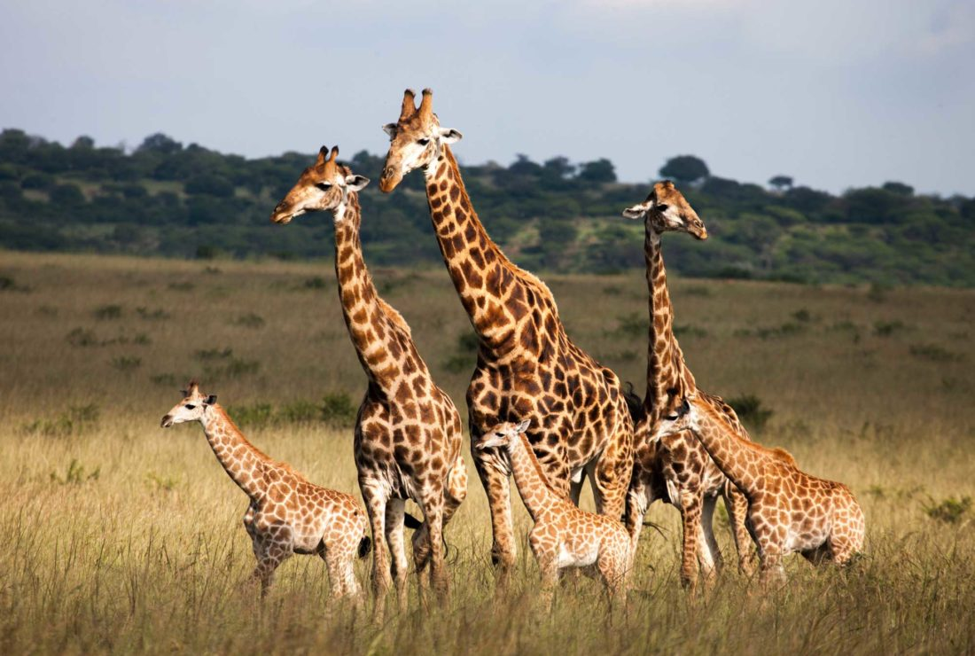 Walking with giraffes in Kruger national Park