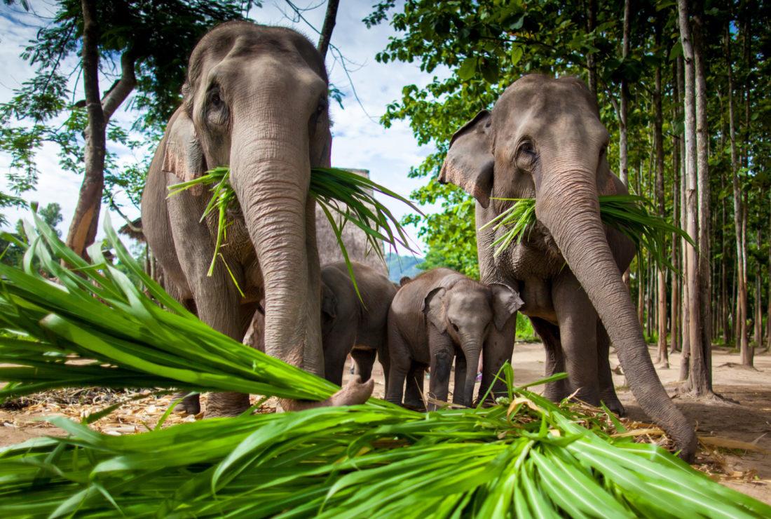 Chiang Rai elephants