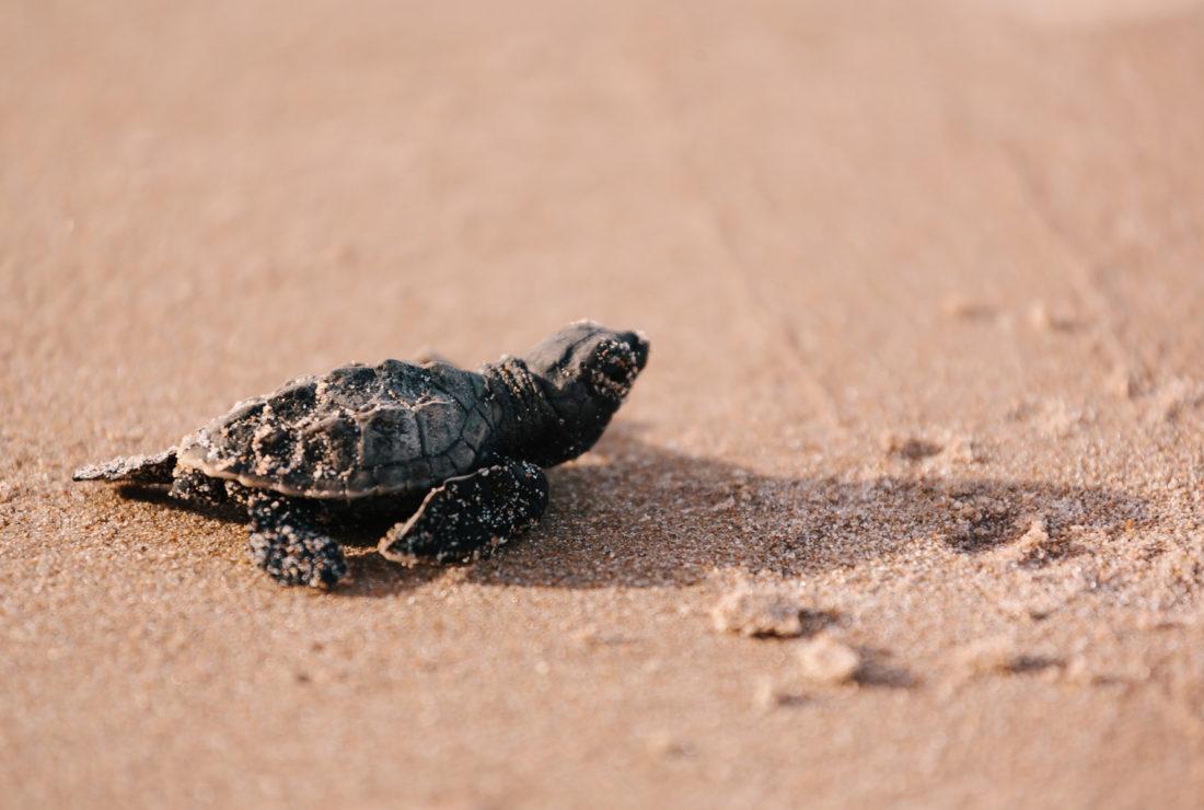 Hawksbill turtles in Antgiua