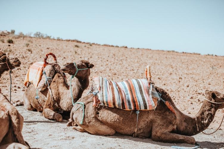 Camel experience Morocco