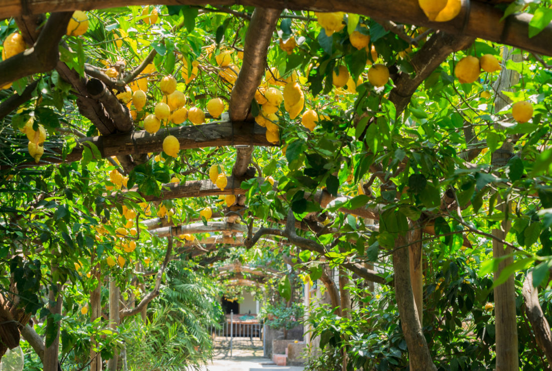 Lemons at farm in Sorrento