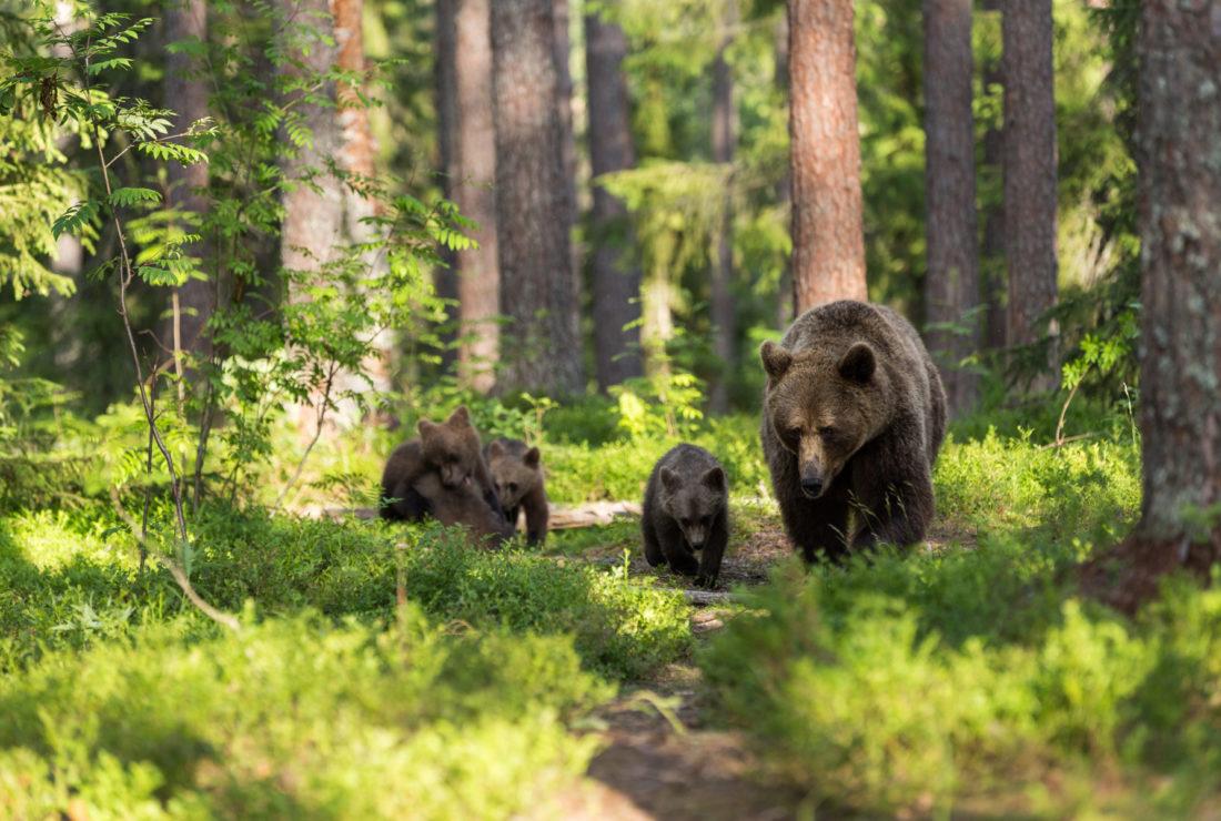 Bears in British Columbia