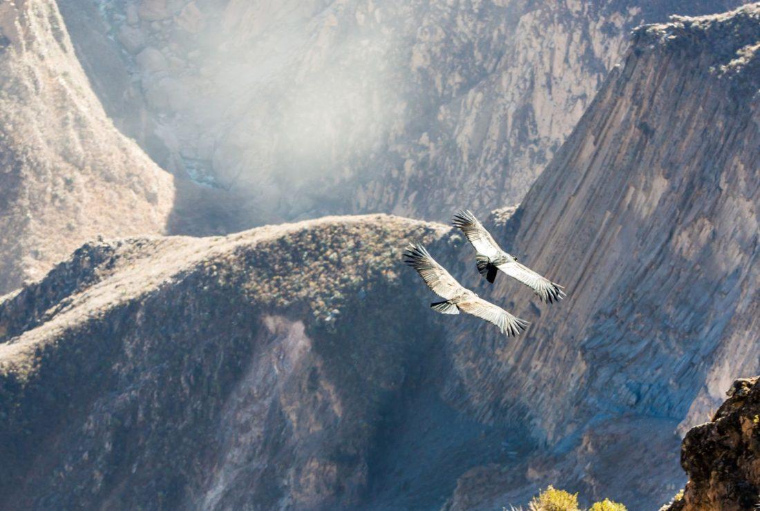 Andean Condor soaring over Colca Canyon