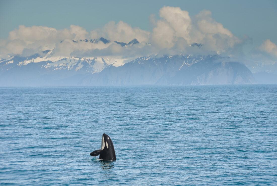 Orca in Alaska