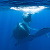 Whales in Moorea